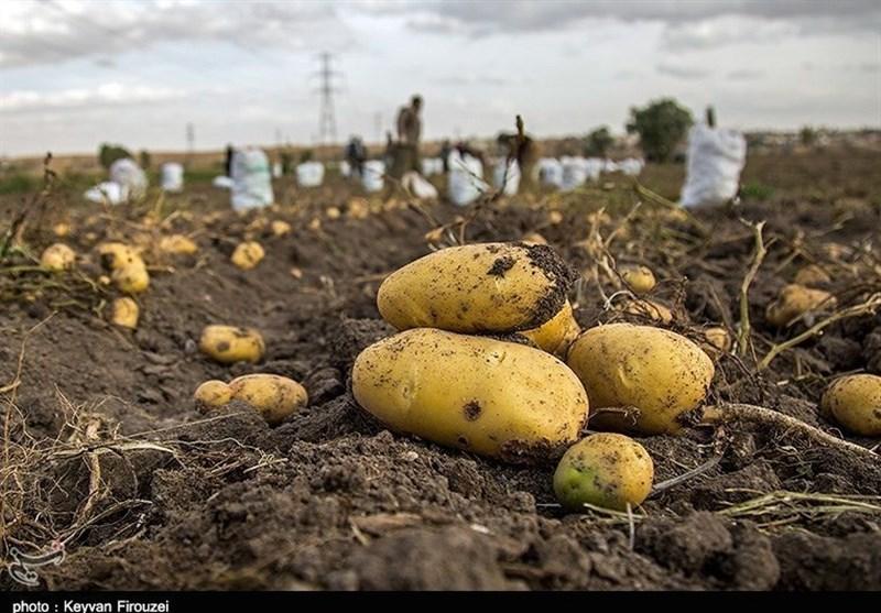 مشکل سیبزمینیهای باقیمانده در انبارهای اردبیل برطرف میشود