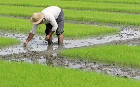 برنجکاران خوزستان، در انتظار تکرار یک مصیبت تابستانه؟