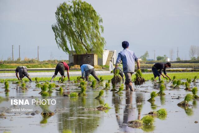 کشت برنج در مناطق کم آب کهگیلویه و بویراحمد ممنوع شود