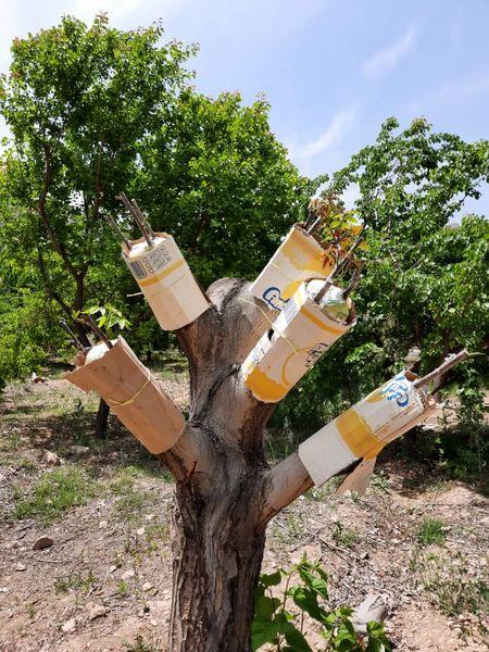 بالغ بر ۱۱۰۰ اصله درخت گردو در مرودشت اصلاح شد