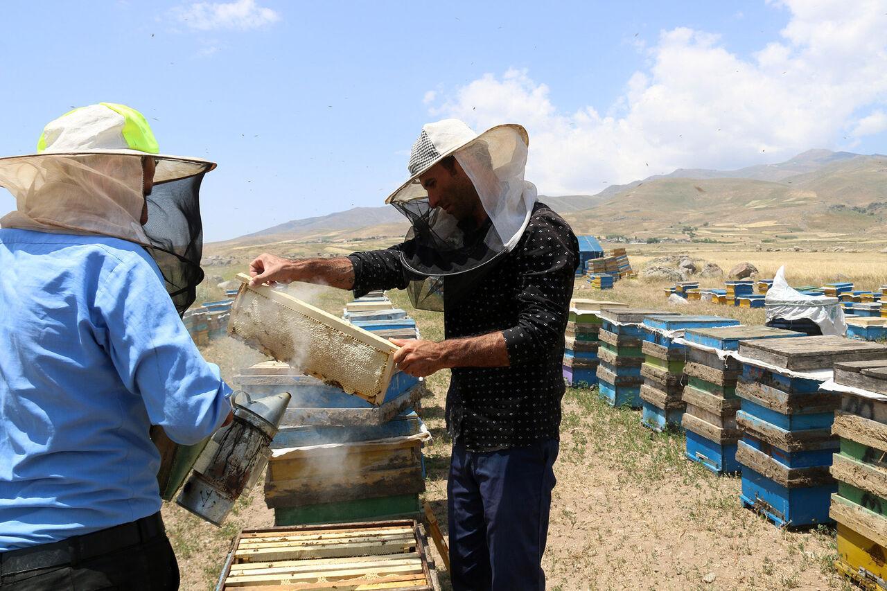 ۳۰ درصد جمعیت زنبور عسل استان اردبیل تلف شدند