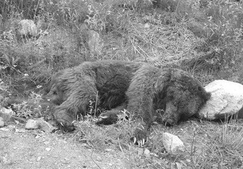 شکار یک قلاده خرس در دنا کذب است