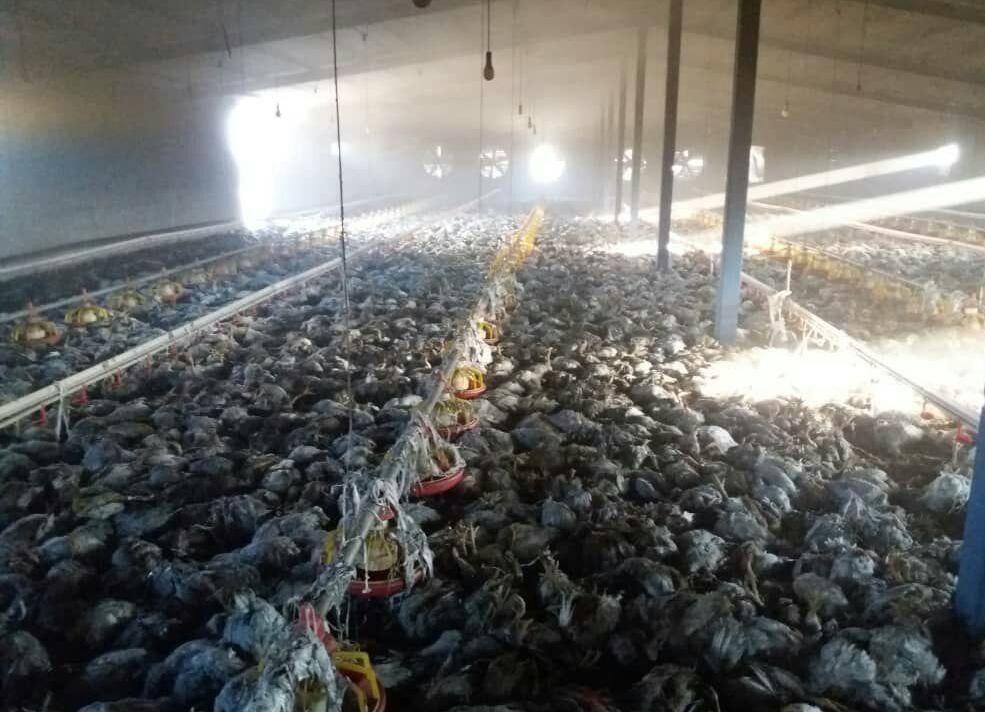 ۳ هزار قطعه مرغ در مشگینشهر در آتش سوخت
