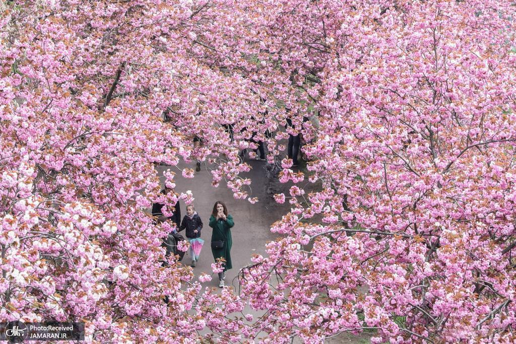 شکوفه های گیلاس در آلمان