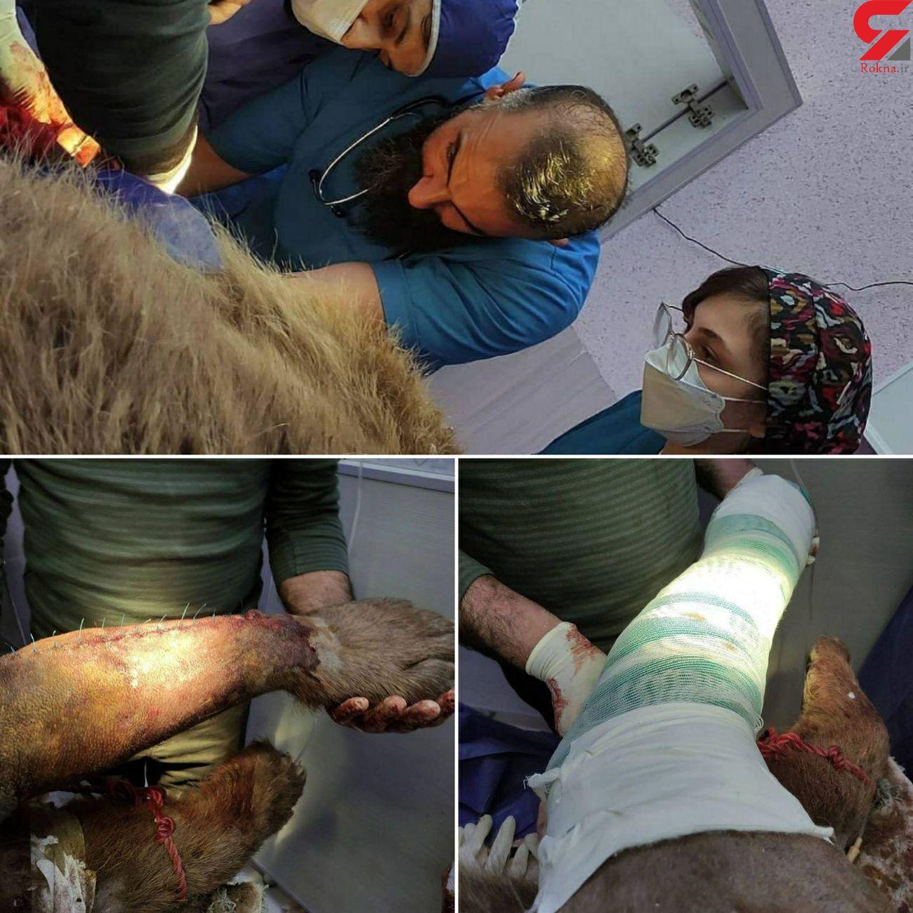 آخرین وضعیت جسمانی خرس قهوهای آسیبدیده در کرمانشاه