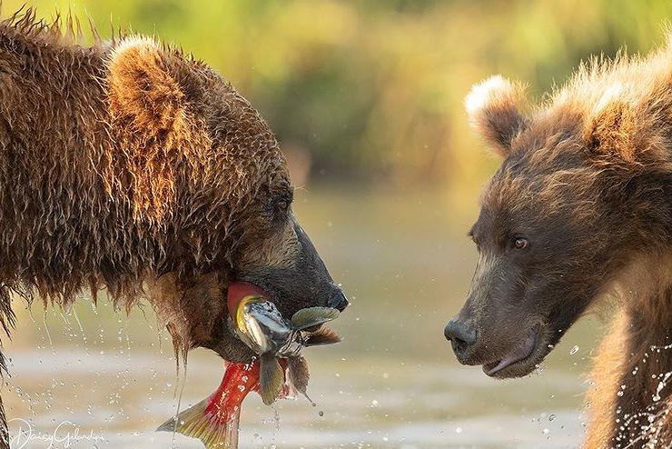 شکار دیدنی خرس