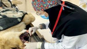 حکایت خانم دکتر شجاعی که دندان های سلطان جنگل را زیر تیغ جراحی برد