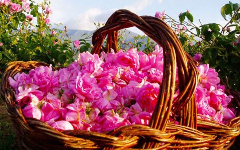تولید ۷۰ تن گل محمدی در مرودشت
