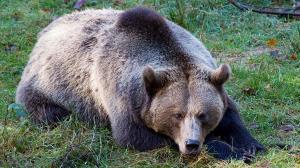 شاهزاده لیختناشتاین متهم به شکار «سلطان» خرسهای اروپا شد