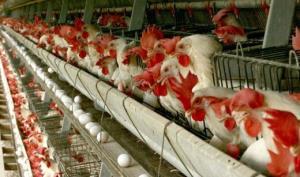 دومینوی گرانی و نابودی تولید؛ از مرغ تا جوجه