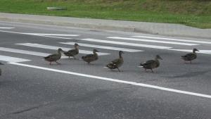 بعضیها باید فرهنگ شهری رو از این اردکها یاد بگیرن!