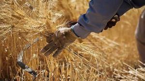 تولید گندم در خوزستان خشکسالی را دور زد