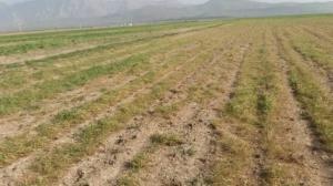 ۷۰ درصد مزارع دیم استان اردبیل خسارت دیدند