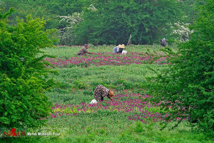 تصاویر/ برداشت گل گاوزبان در مازندران