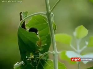 لانه سازی جالب پرنده داخل یک برگ!