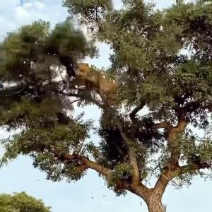 بالا رفتن شیر از درخت برای دزدی از پلنگ!
