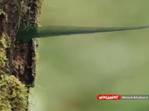 سرکشی یک پرنده «کوئتزال» با شکوه از لانه خود