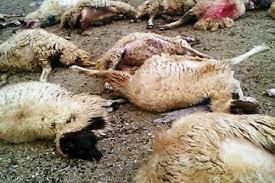 برخورد با خودرو ۳۰ راس گوسفند در میاندوآب را تلف کرد