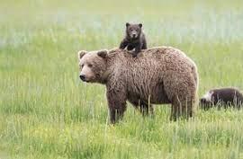 خرسهای قهوه ای در جنگل گلستان