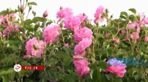 آغاز فصل برداشت گل محمدی از گلزارهای فارس