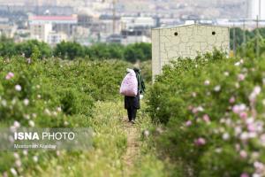 برداشت گل محمدی در مزارع شهرستان «ساوجبلاغ»