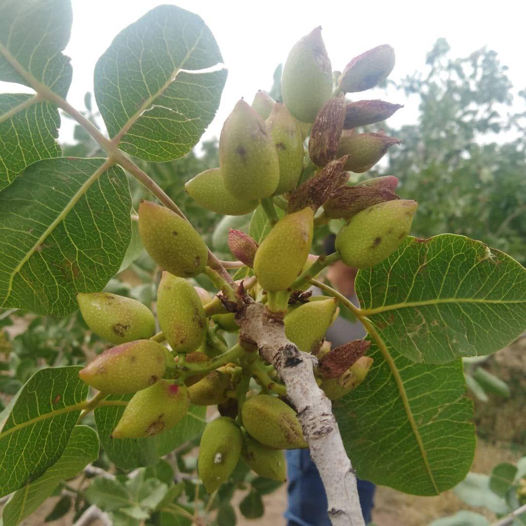 خسارت ۶۰ درصدی تگرگ به باغات پسته مهولات