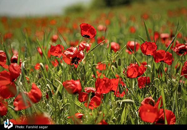 دشت گلهای شقایق وحشی در مازندران