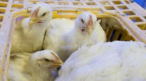 بیش از ۳ تن مرغ زنده قاچاق در رزن کشف شد