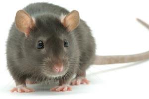 وحشت یهودیان خرافی از یک موش!