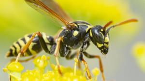 زنبورهایی که ما نادانسته از آنها متنفریم!