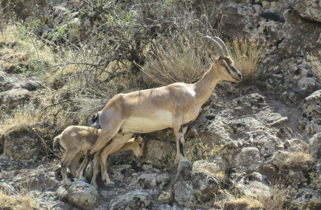 نخستین بزغاله کوهی منطقه حفاظت شده الموت در سال جاری به دنیا آمد
