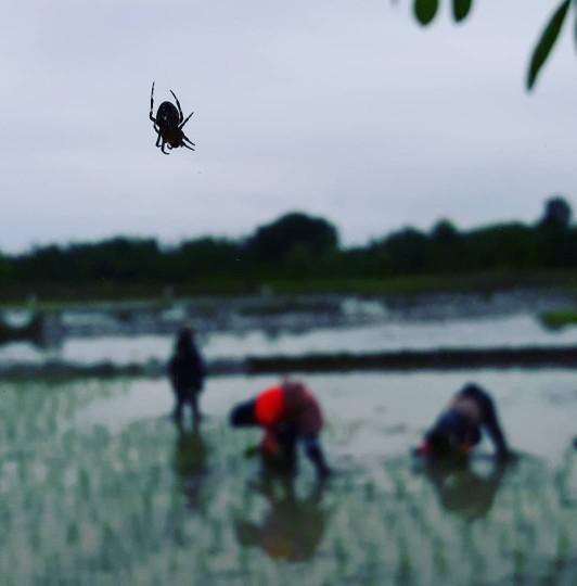 عنکبوت درشالیزار