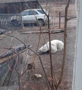 4گوشه دنیا/ خرس قطبی که غذای یک سگ را به سرقت برد