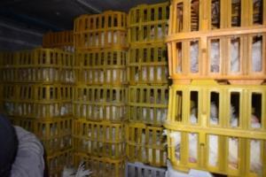 توقیف ۳۷۰۰ قطعه مرغ قاچاق در خاش