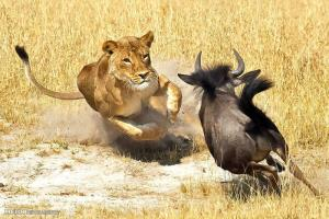 شکار هوشمندانه گوزن یالدار توسط شیر