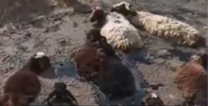 گله گوسفند در قیر گیر افتاد