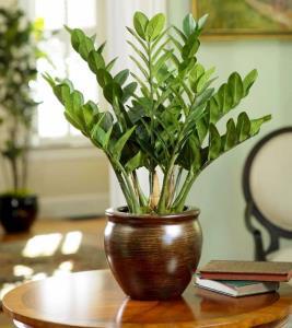 با گیاه و گل آپارتمانی زامیفولیا بیشتر آشنا شوید