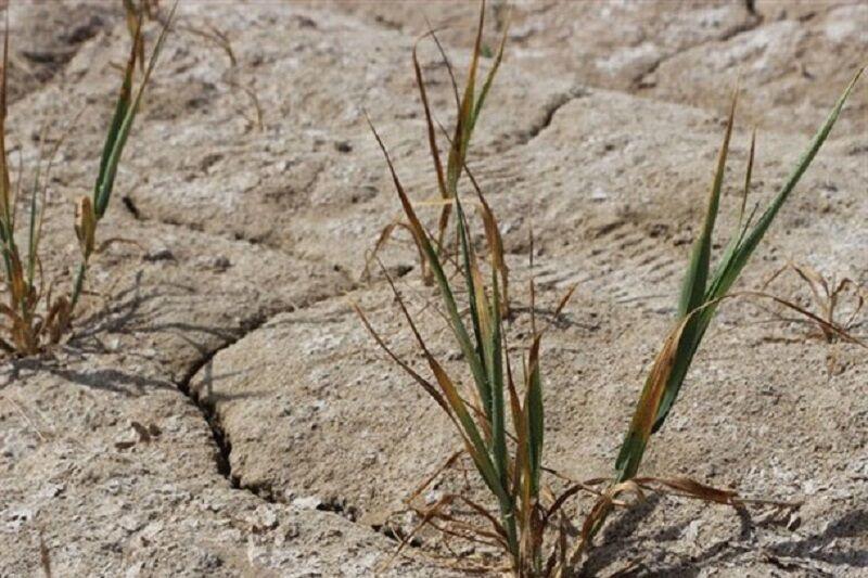 خسارت خشکسالی مزارع گنبدکاووس در ۵۰ سال گذشته کم سابقه است
