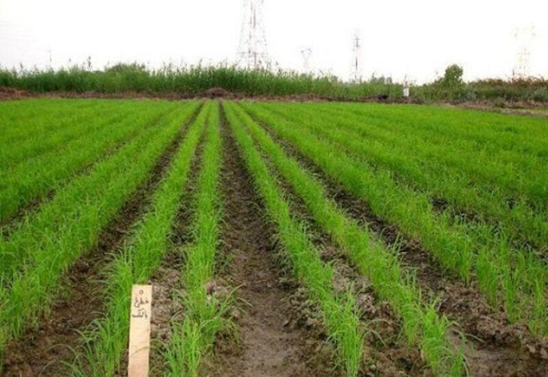 فرماندار: کشت برنج در اراضی کشاورزی چرداول ممنوع است
