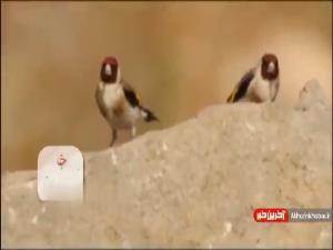 آشنایی با زیباترین گنجشک ایران