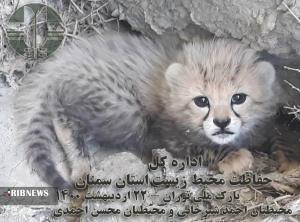 ثبت تصویر نوزادان نورس یوز در پارک ملی توران شاهرود