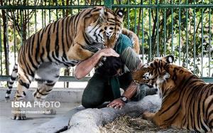 عاقبت ورود مردی به محدوده ببرها در باغ وحش!