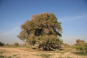 ۲ درخت کهنسال استان بوشهر ثبت ملی شد
