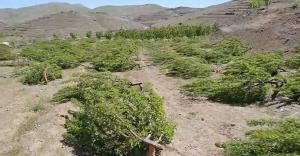 قطع ۳۰۰ اصله درخت مثمر در اشنویه توسط افراد ناشناس