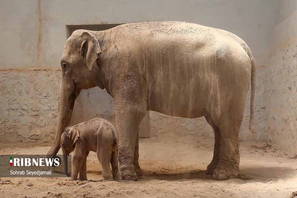 عکس/ نخستین فیل متولد شده در ایران