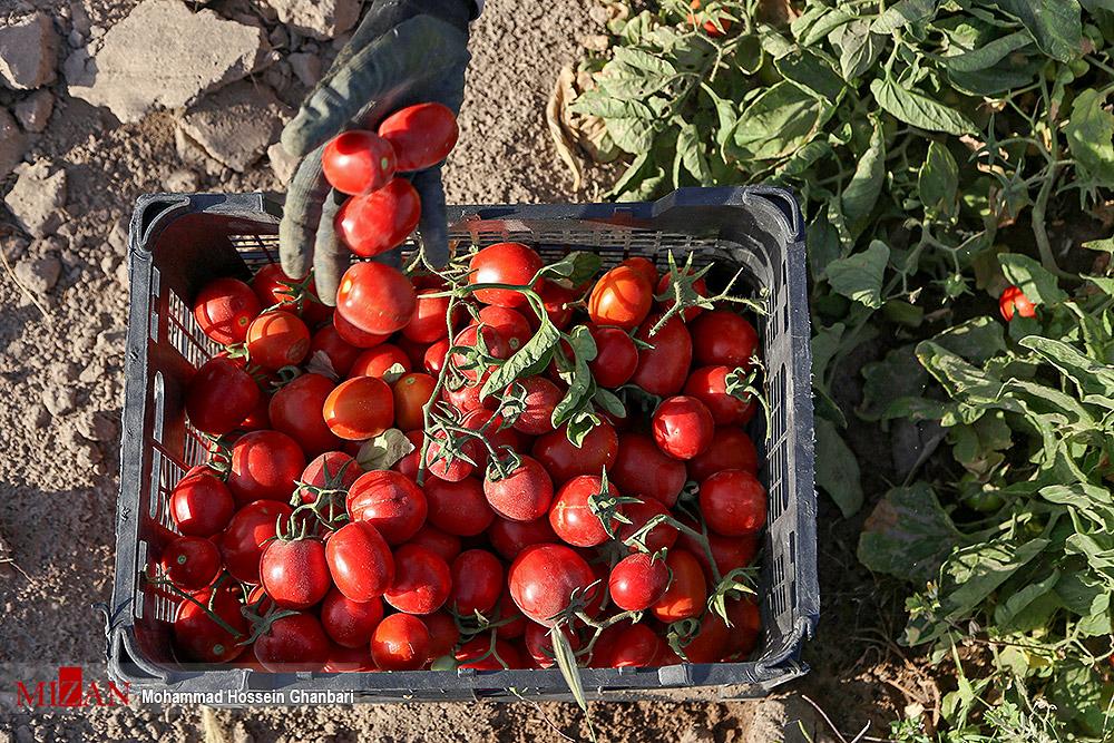 برداشت گوجه فرنگی در کرمان