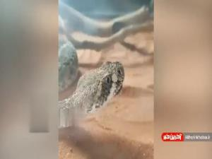 لحظه خمیازه کشیدن یک مار در مقابل دوربین