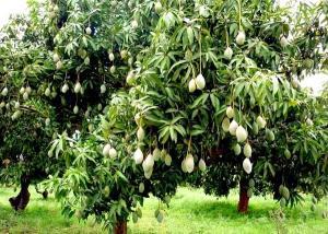 رشد 300 نوع میوه روی یک درخت!