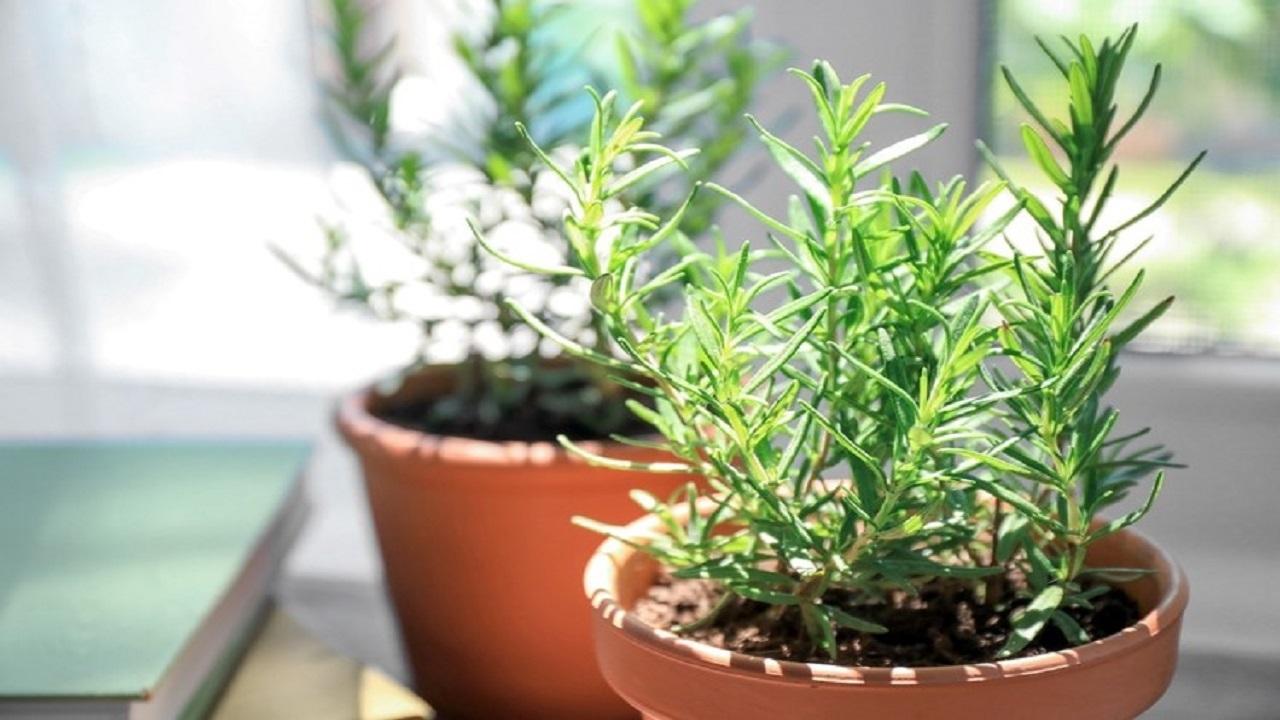 گیاه «رزماری» از کاشت در منزل تا موارد مصرف