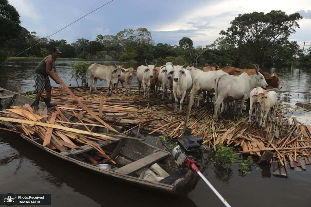 مردی در حال نجات گاوهای خود در میان طغیان رودخانه